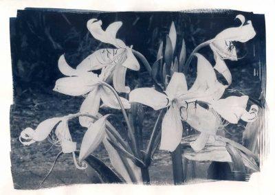 Crinium Lily, 2014