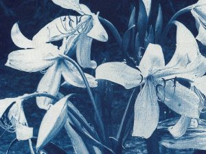 Cyanotypes from Negatives